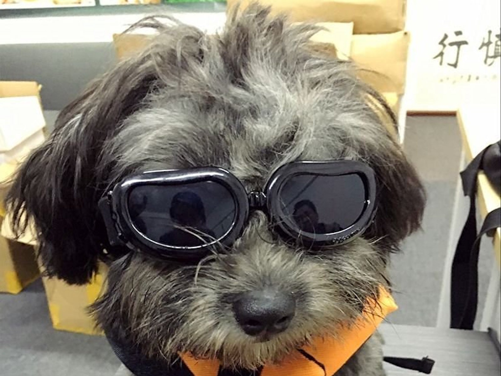 These fashionable dog goggles