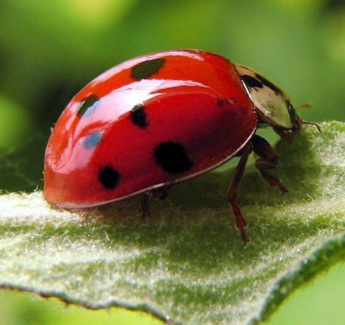 1,500 ladybugs warriors for your garden