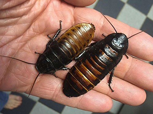 These literal, actual, living cockroaches