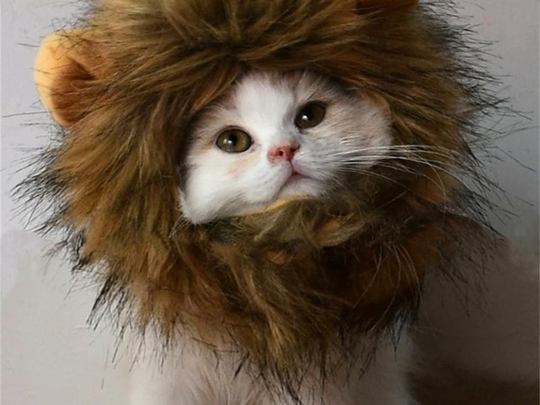 This costume for kitties who think they're king of the jungle