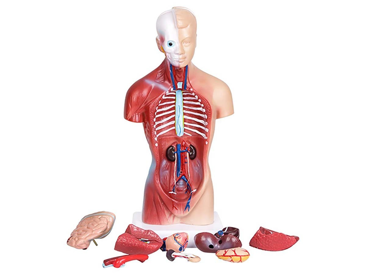 This colorful human anatomy model 👨⚕️