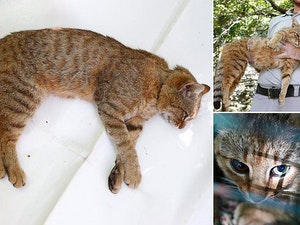 Meet the Corsica 'Cat-Fox': A Mysteriously Adorable New Feline Species